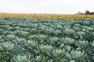 Cabbages one